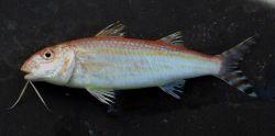 Dwarf goatfish ( Upeneus parvus ) Photo