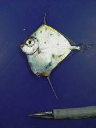 Spotted tinselfish ( Xenolepidichthys dalgleishi ) Photo