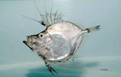 American john dory or silvery john dory ( Zenopsis conchifera ) Image