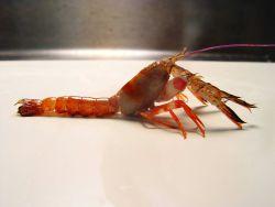 An axiid shrimp shrimp (Acanthaxius hirsutimanus ) Image