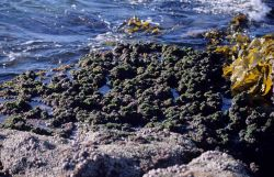 Red, green, and brown algae co-existing at the low-tide line. Photo