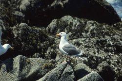 A California seagull (Larus californicus). Photo