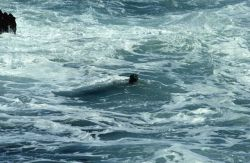Pacific harbor seal (Phoca vitulina) in the surf Photo