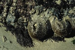 Large sea anemones (Anthopleura xanthogrammica) closed for protection against drying up at low tide Photo