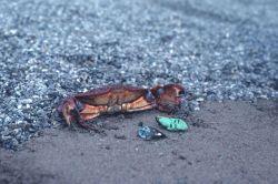 A shore crab (Cancer antennarius) in a defensive posture Photo