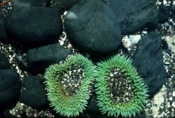 Two large green sea anemones with rounded cobbles Photo