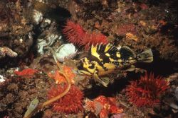 A black and yellow rockfish (Sebastes chrysomelas) among a group of red sea anemones and three orange seastars Photo