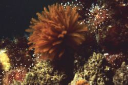 Feather duster worm Photo