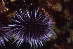 A purple sea urchin (Strongylocentrotus purpuratus) Photo