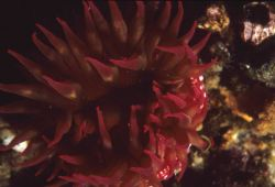 A red sea anemone (Tealia lofotensis) Photo