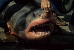 Great white shark (Carcharodon carcharias) caught by fisherman in small boat close to Bodega Bay study area. Photo