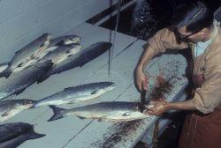Preparing salmon for shipment Photo