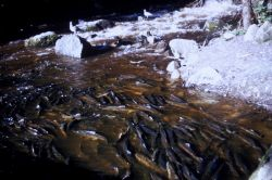 Pink and coho salmon in a spawning creek Photo