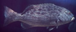 Black grouper Photo