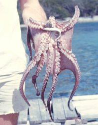 Octopus with an anchovy Photo