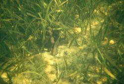 Submerged aquatic vegetation Photo