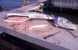 King mackerel bioprofiles sampling Photo