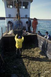 Harvesting herring roe on rockweed (Fucus gardneri) on Summit Island. Photo