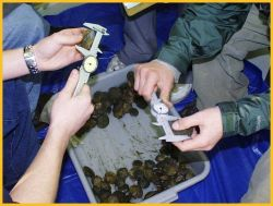 Scallops being measured by students at the Bridgeport Regional Vocational Aquaculture School in Bridgeport. Photo