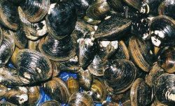 Corbicula clam for sale at Shiogama market in Japan. Photo