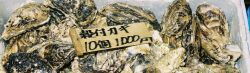 Marine oysters, Crassostrea gigas, for sale at the Shiogama market in Japan. Photo
