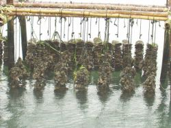 Long-line oyster culture with larger oysters on the front lines and juvenile spat on scallop shells in the background. Photo