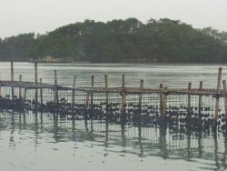 View of long-line oyster culture at low tide in Matsushima Bay, Japan. Photo