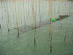 Algae mat for algae culture in between bamboo stakes used in long-line aquaculture of oysters. Photo