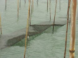 View of mat used for algae culture between oyster culture beds at low tide with mat exposed. Photo