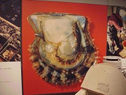 Close-up photo of large cultured pearl still in oyster shell. Photo