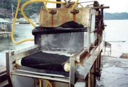 Depuration process for food oysters used in Japanese oyster processing plant Photo