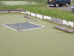 Algae covered ponds for growout of turtle at the Hattori-Nakamura soft-shelled turtle farm in Japan Photo