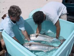 Photo of amberjack tuna broodstock being transferred to plastic tanks for temporary holding Photo