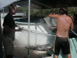 Moving cultured cobia (Rachycentron canadum) from tanks to pond for growout Photo