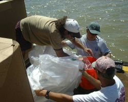 Fingerling cobia (Rachycentron canadum) being transferred from bucket to plastic transport container for transport to offshore cage at Culebra Island, Photo