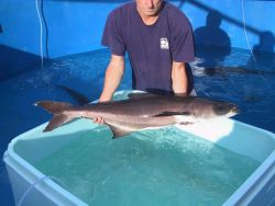 Cobia male broodstock weighing approximately 20 kilograms being held prior to transport to brookstock tanks Photo