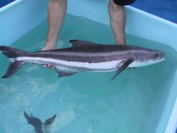 A female broodstock cobia approximately 8 kilograms in weight prior to transport to broodstock holding tanks Photo