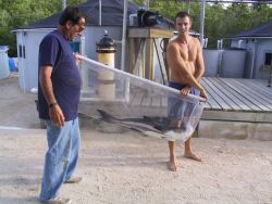 Cobia broodstock being carried to holding tank at the Florida aquaculture research laboratory Photo