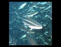 Closeup view of cobia that were being fed and raised in an offshore cage in Culebra, Puerto Rico Photo