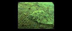 Closeup of flatfish being cultured in a net. Photo