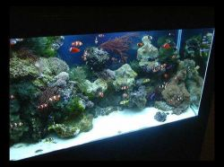 Aquarium with both live rock and invertebrates and finfish that are products of a commericial ornamental marine culture facility in Florida. Photo