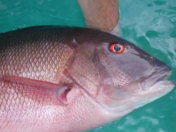 Closeup of broodstock mutton snapper (Lutjanus analis) Photo