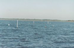 Clam aquaculture staked beds Photo