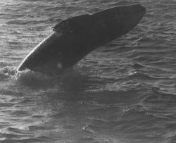 Gray whale in Scammons Lagoon Photo