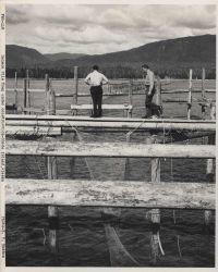 Salmon pile trap Photo