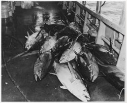 Catch of yellowfin tuna onboard the FWS research vessel OREGON Photo