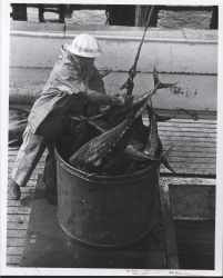 Unloading catch of yellowfin tuna Photo