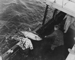 Landing a 120-lb yellowfin tuna on the FWS research vessel OREGON Photo