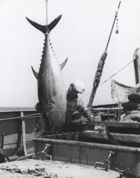 Bluefin tuna being hoisted aboard the FWS research vessel DELAWARE Photo