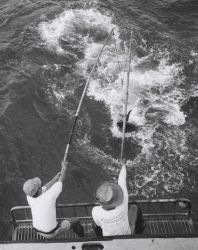 Two-pole method of landing large yellowfin tuna (Thunnus albacares) Photo